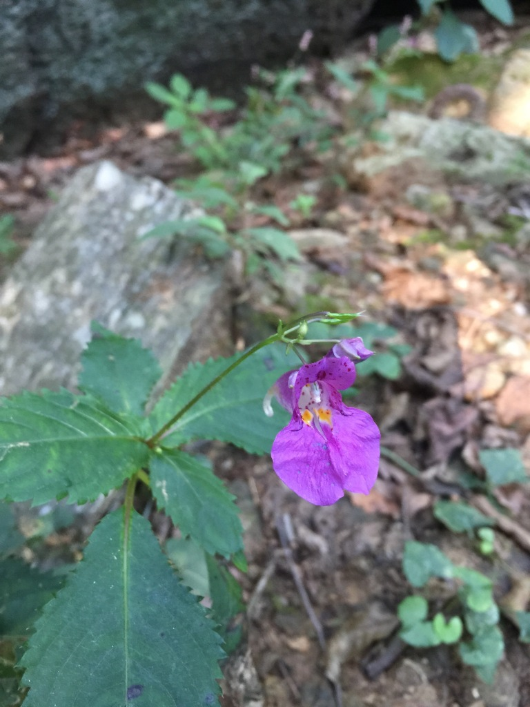 Unknown impatiens, Gwacheon City, South Korea