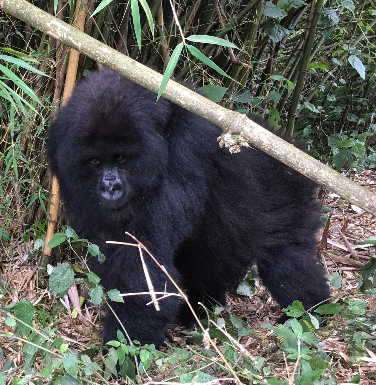 Gorilla from the Amahoro (Peace) group in a bamboo stand during rainy season. (Amahoro group is not part of this study.)