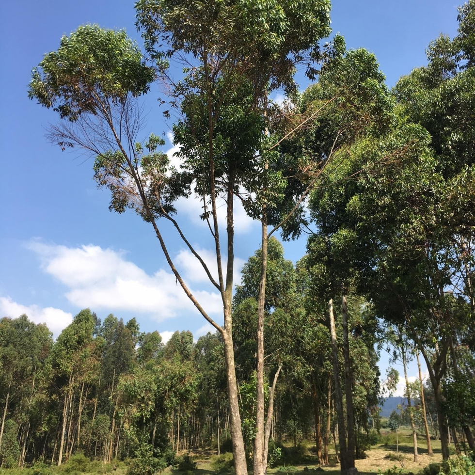 Eucalyptus trees planted near VNP. Eating the inner bark of Eucalyptus is a favorite food of gorillas. For larger trees, this seems to have no effect. For smaller trees, this can maim or kill the non-native tree plantings.