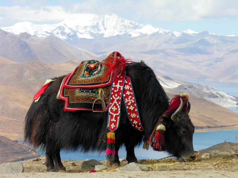 A picture of a yak in the Himalayas